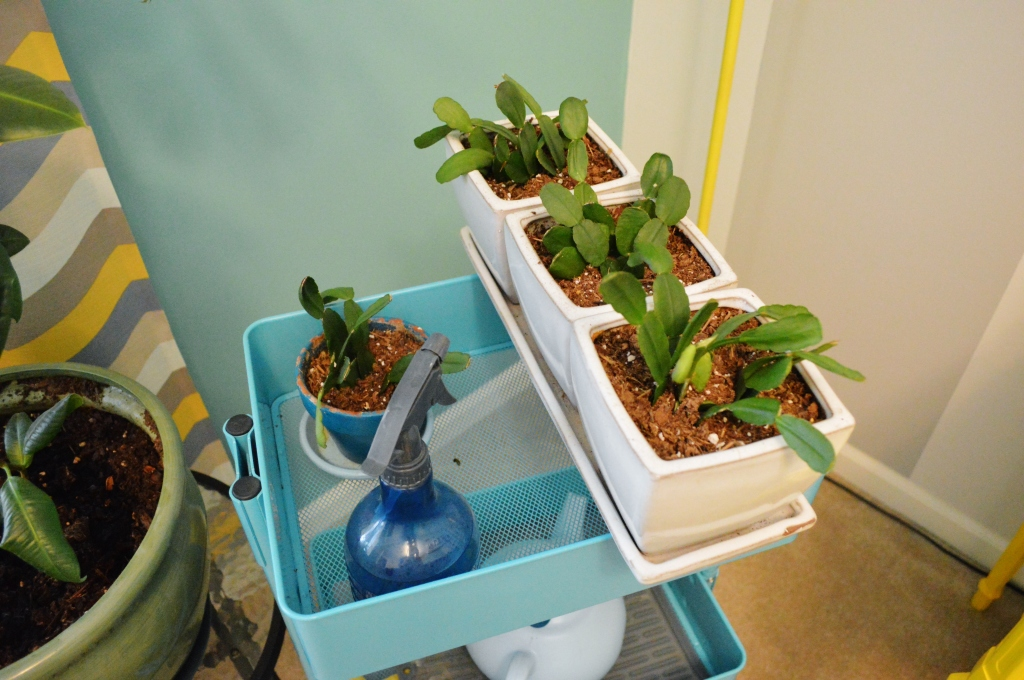 Potted Plant Christmas Cactus Cuttings Feb 16