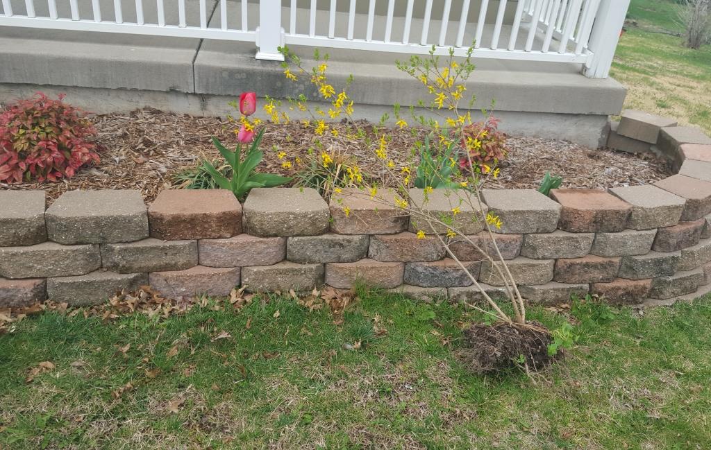 Transplanting forsythia into front flower bed 2