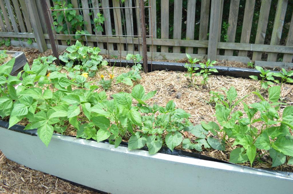 Garden Update Memorial Day Weekend Beans