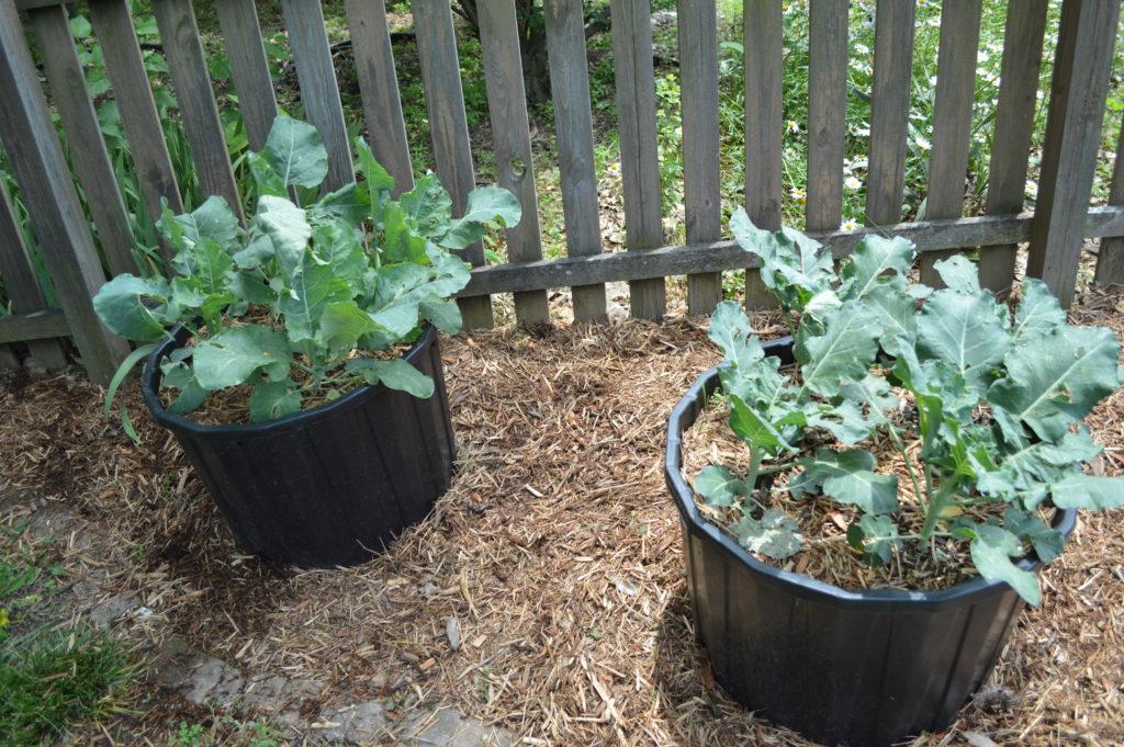 Garden Update Memorial Day Weekend Broccoli