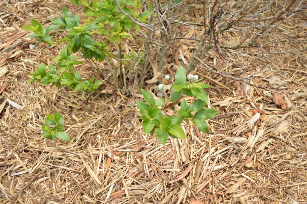 Garden Update Memorial Day Weekend Few Blueberries