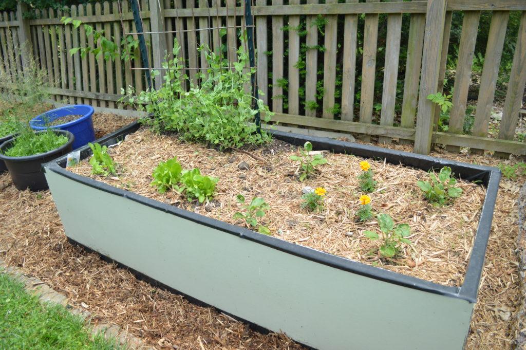 Garden Update Memorial Day Weekend Peas Lettuce Egglant