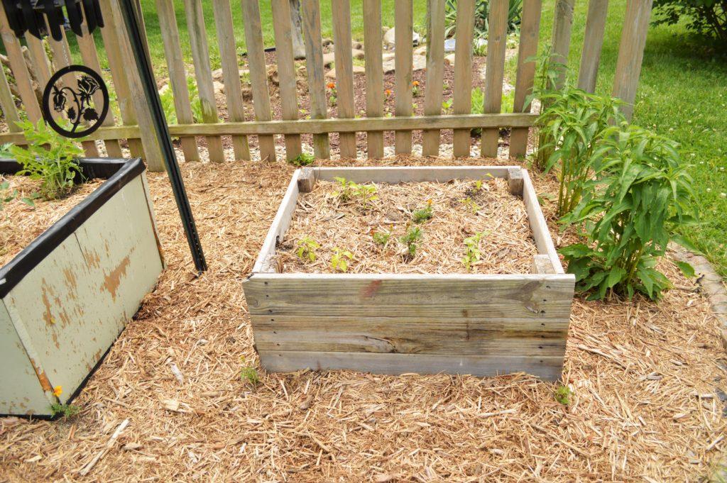 Garden Update Memorial Day Weekend Sick Pepper Plants
