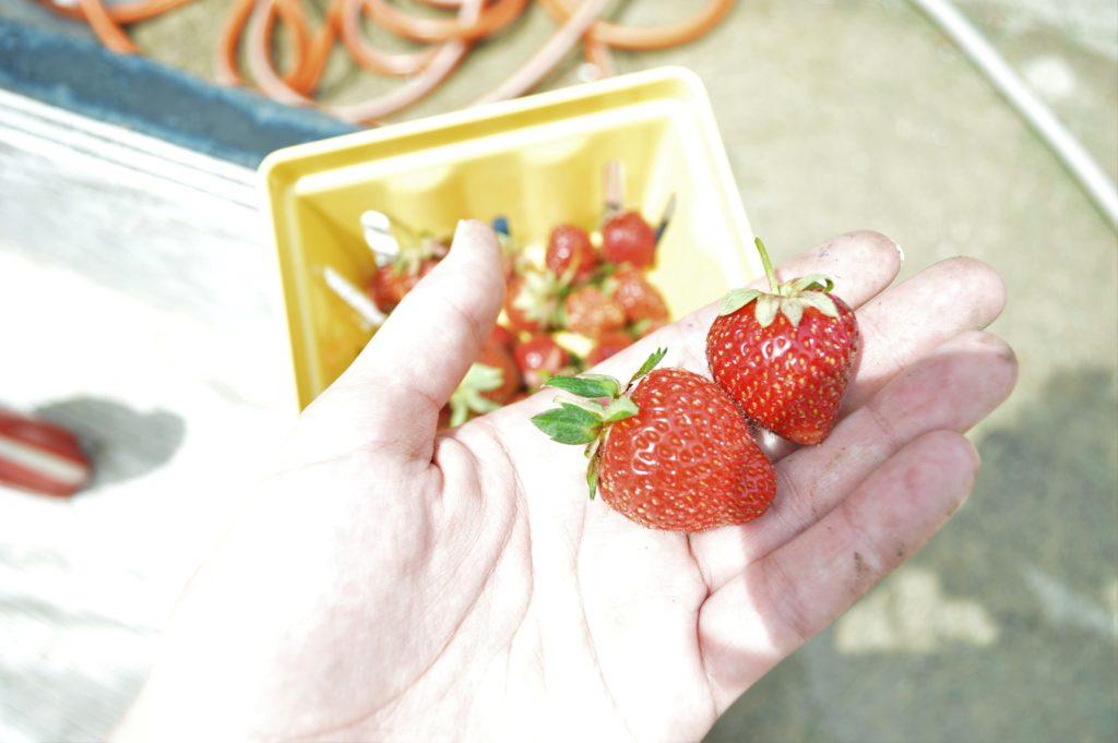 Garden Update Memorial Day Weekend Strawberries