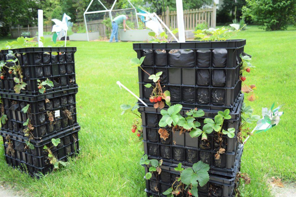 Garden Update Memorial Day Weekend Strawberry Towers