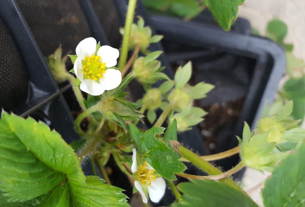 Mulched garden April 2016 blooms