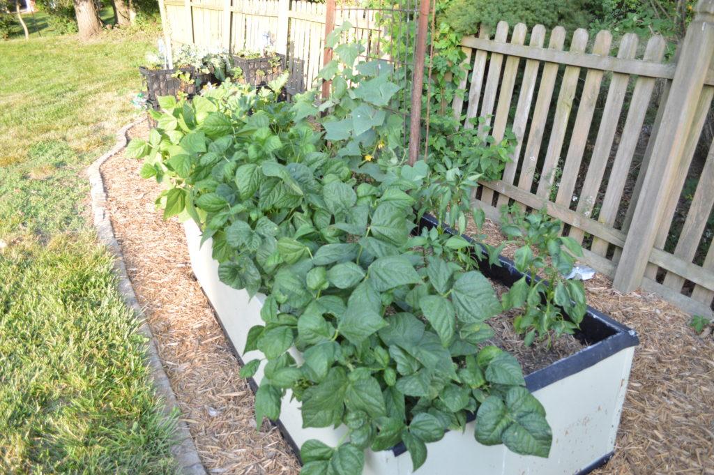 Container Gardening Suburban Garden June 2016 Beans