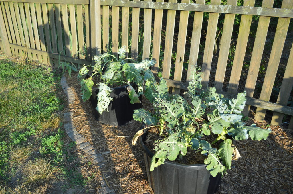 Container Gardening Suburban Garden June 2016 Broccoli