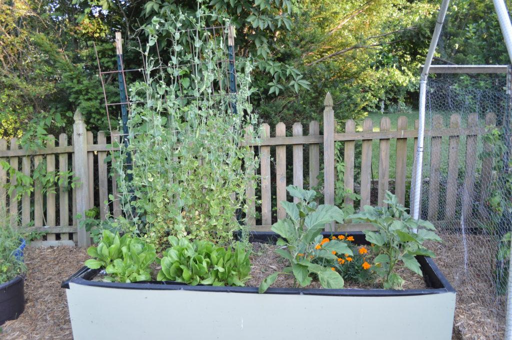 Container Gardening Suburban Garden June 2016 Peas Eggplant Lettuce