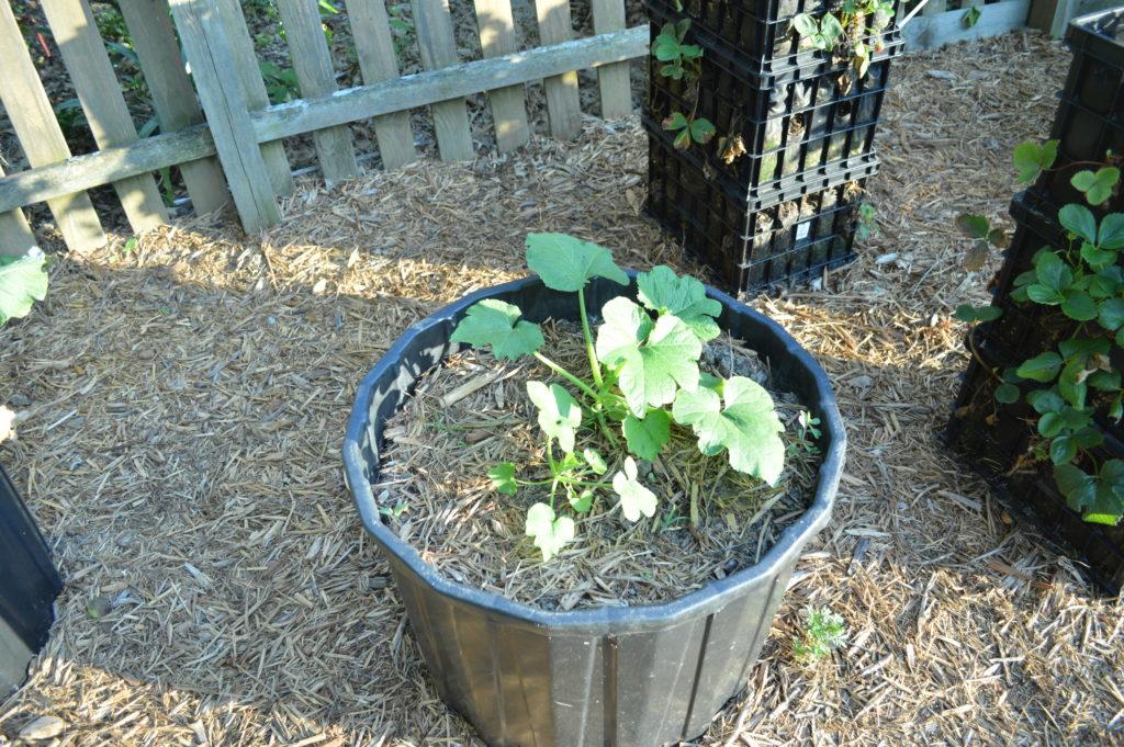 Container Gardening Suburban Garden June 2016 Squash