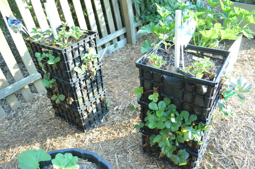 Container Gardening Suburban Garden June 2016 Strawberries