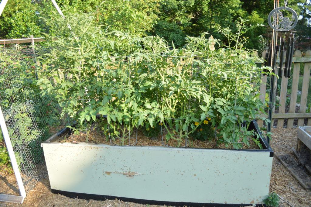 Container Gardening Suburban Garden June 2016 Tomatoes 2