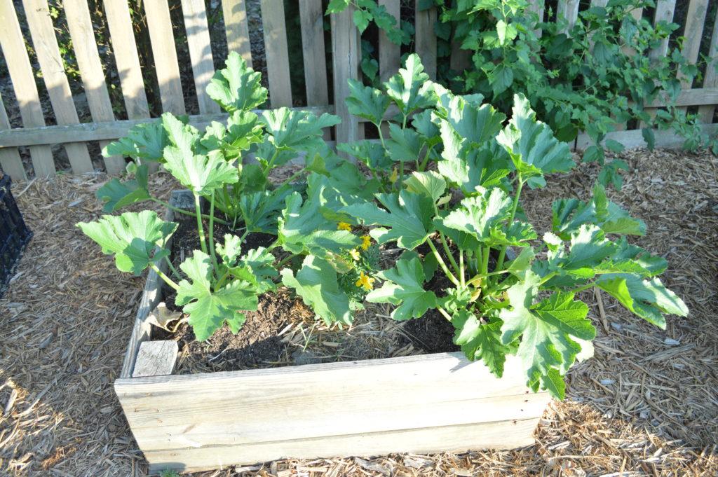 Container Gardening Suburban Garden June 2016 Zucchini