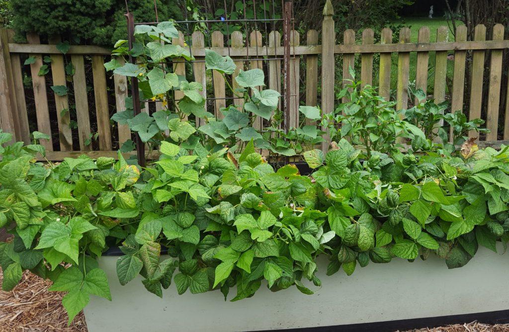 Beans July 2016 Suburban Garden Update