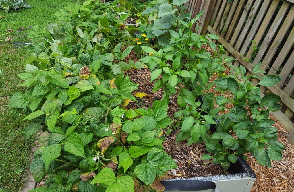 Beans July 2016 Suburban Garden Update (2)