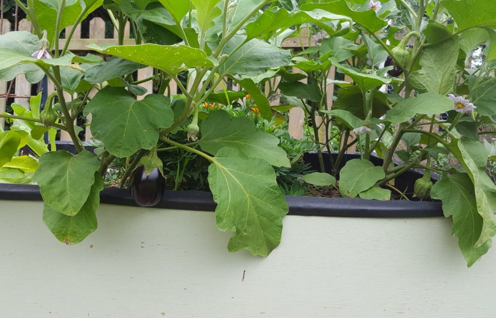 Eggplant 2 July 2016 Suburban Garden Update