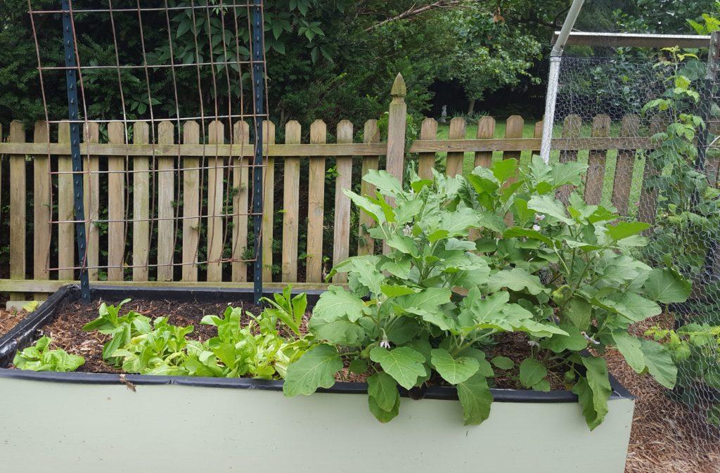 Eggplant July 2016 Suburban Garden Update