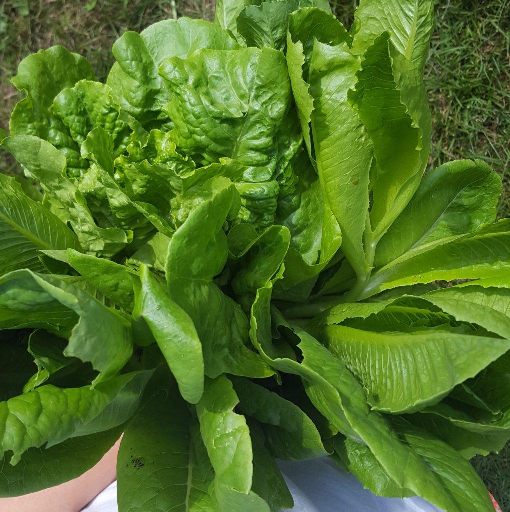 Garden Lettuce Harvest
