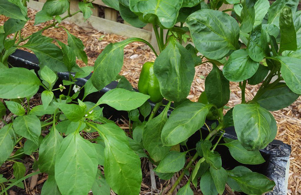 Peppers July 2016 Suburban Garden Update