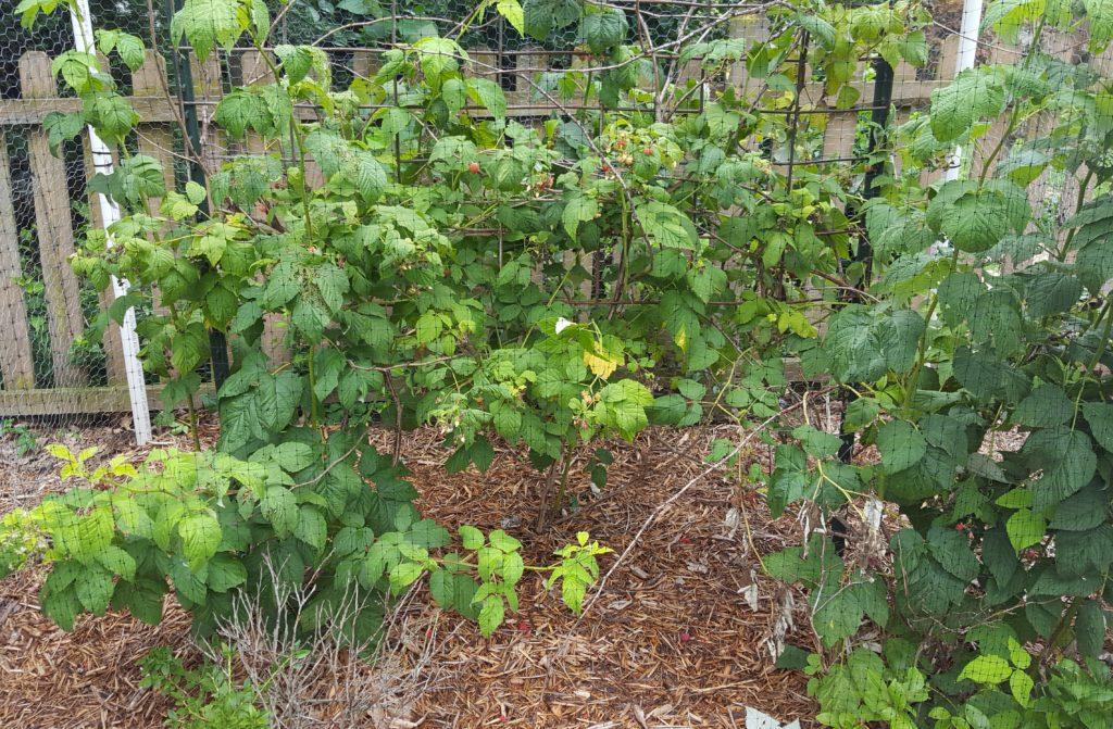 Raspberries July 2016 Suburban Garden Update
