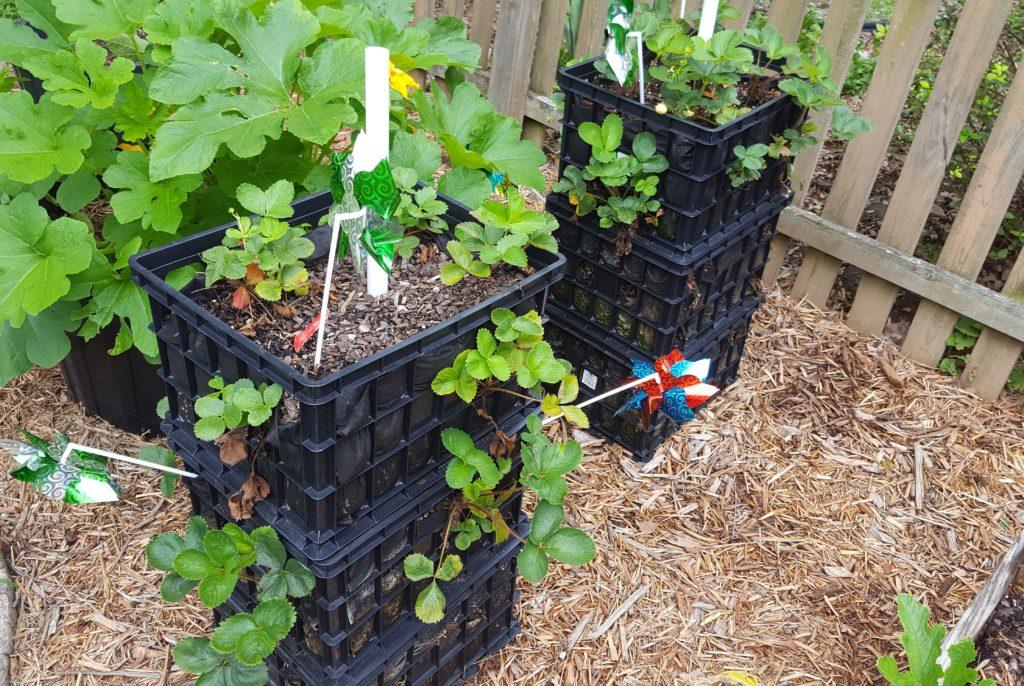 Strawberries July 2016 Suburban Garden Update