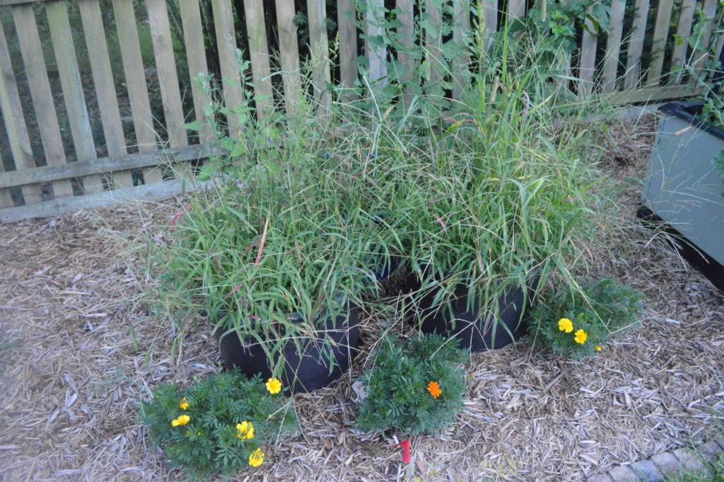 Suburban Garden August Asparagus Grass