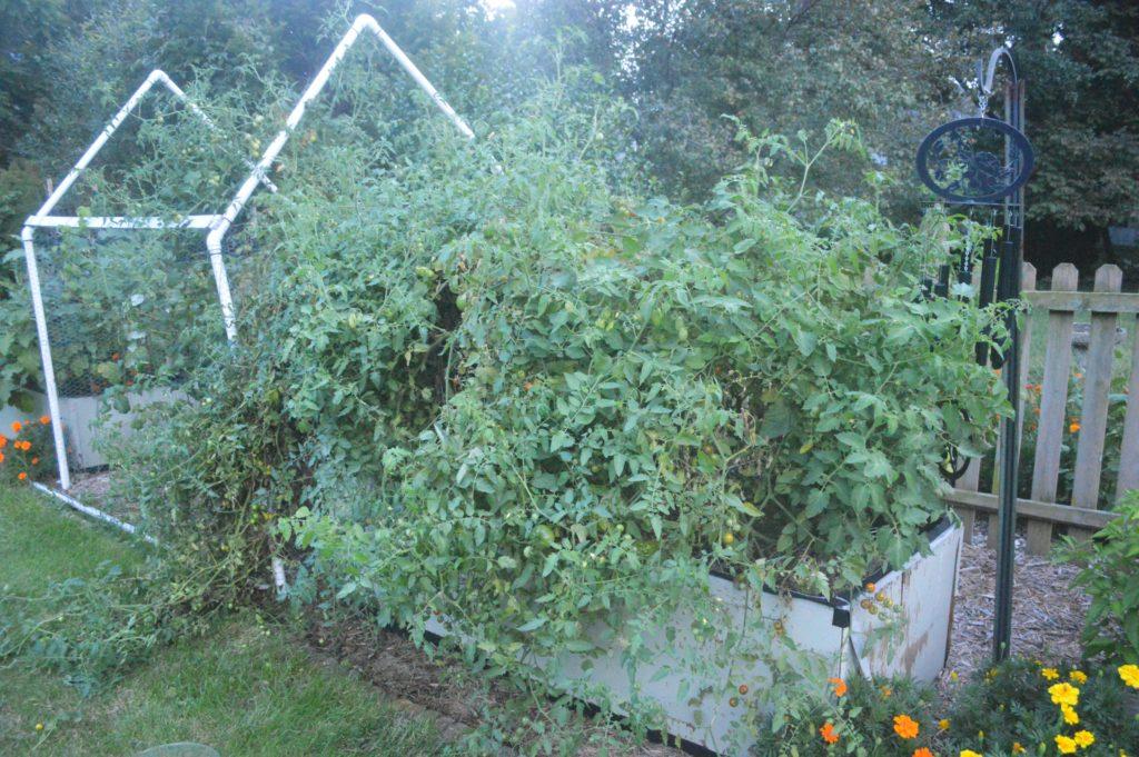Suburban Garden August Crazy Tomatoes