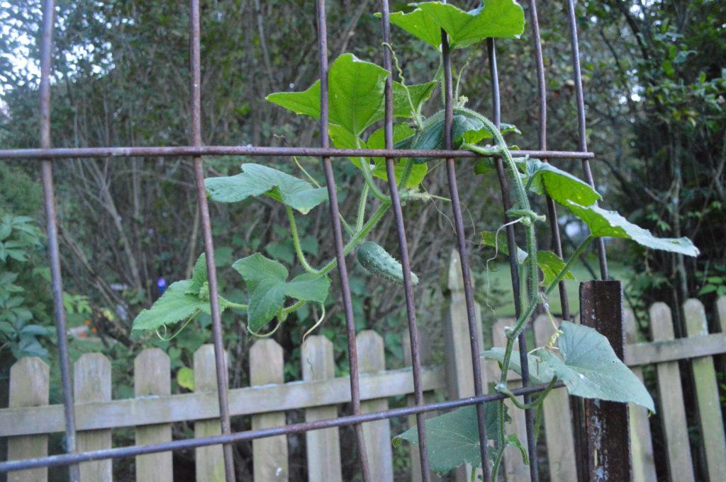 Suburban Garden August Cucumbers