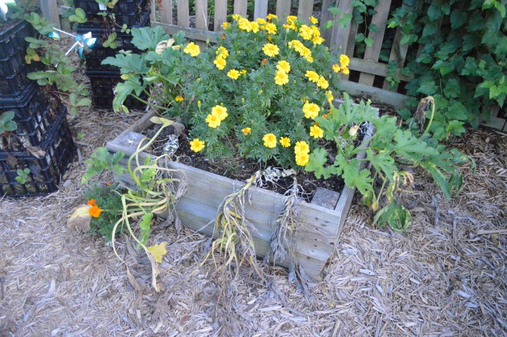 Suburban Garden August Dead Zucchini