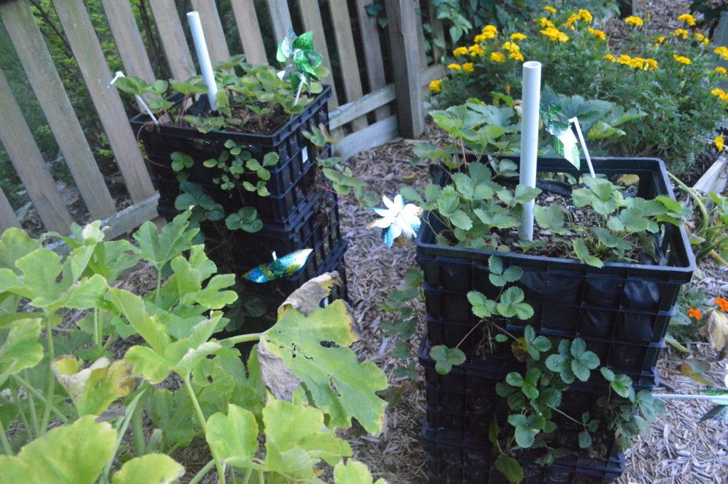 Suburban Garden August Strawberries
