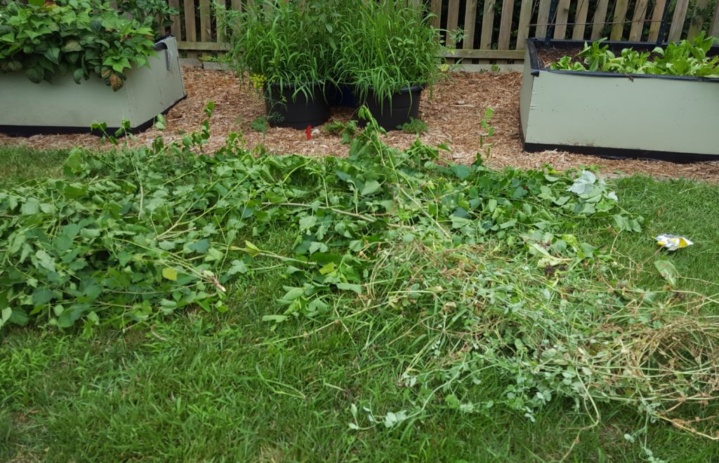Trimmed Sprouts July 2016 Suburban Garden Update