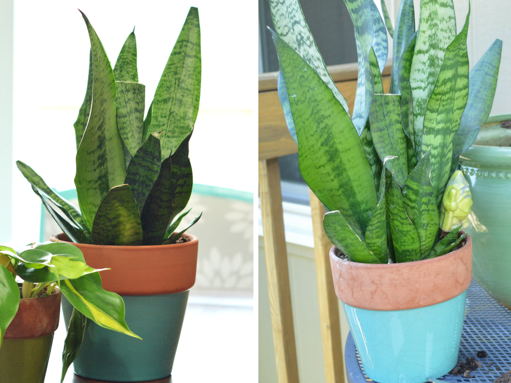 snake-plant-9-month-growth