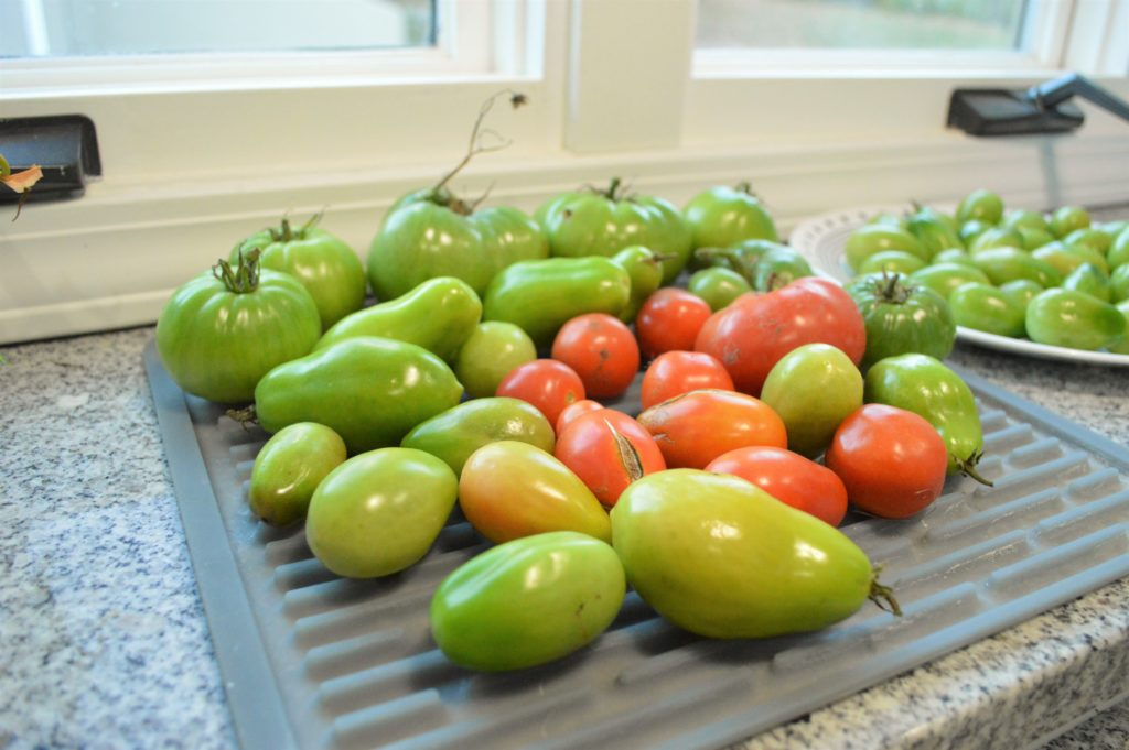 ripening-tomatoes