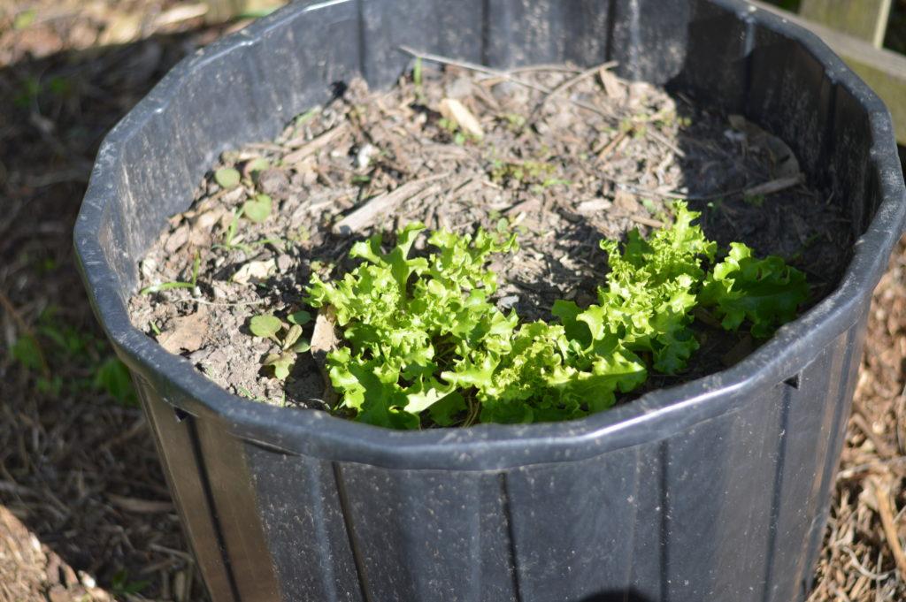 Garden April 17 lettuce