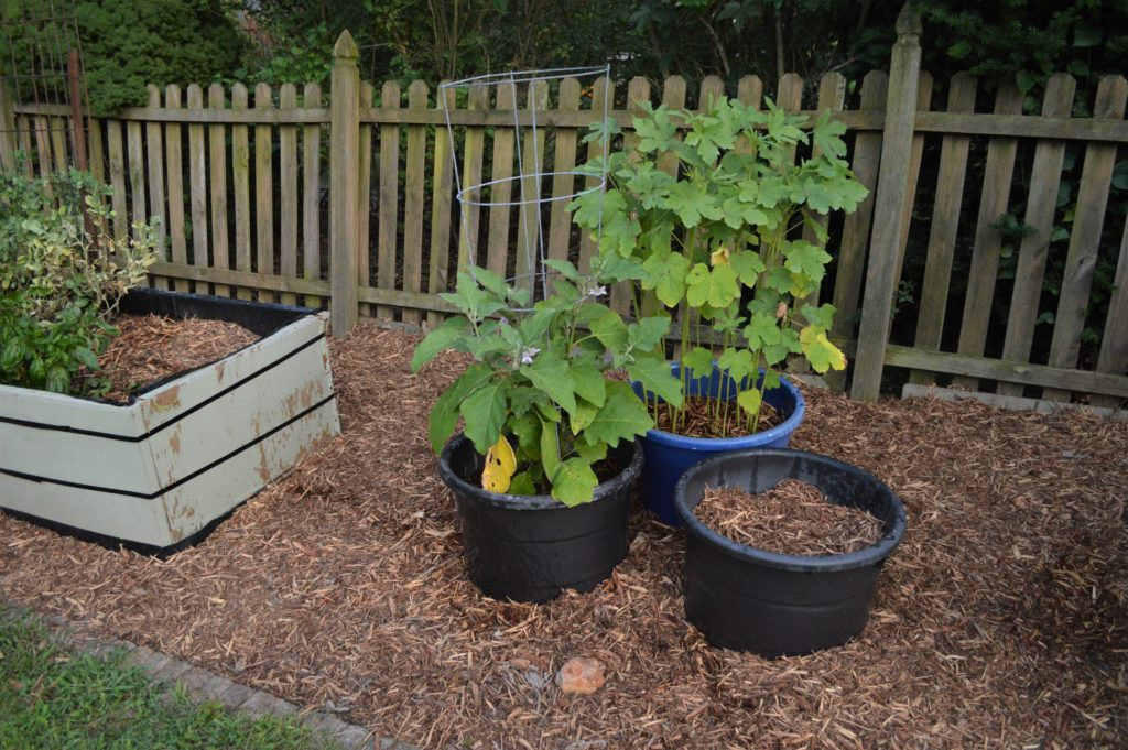 garden august 17 eggplant okra