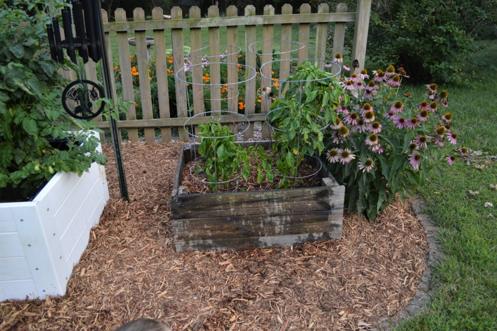 garden august 17 peppers